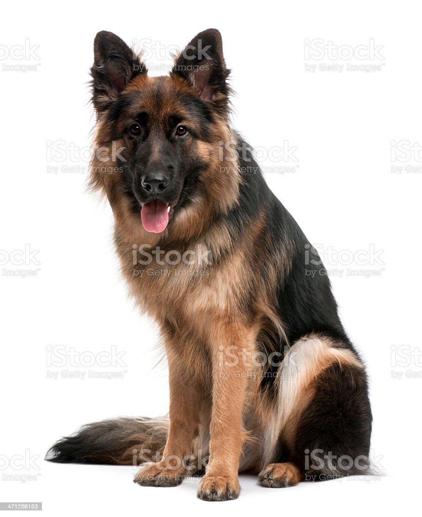 Front view of German Shepherd, sitting and panting. stock photo