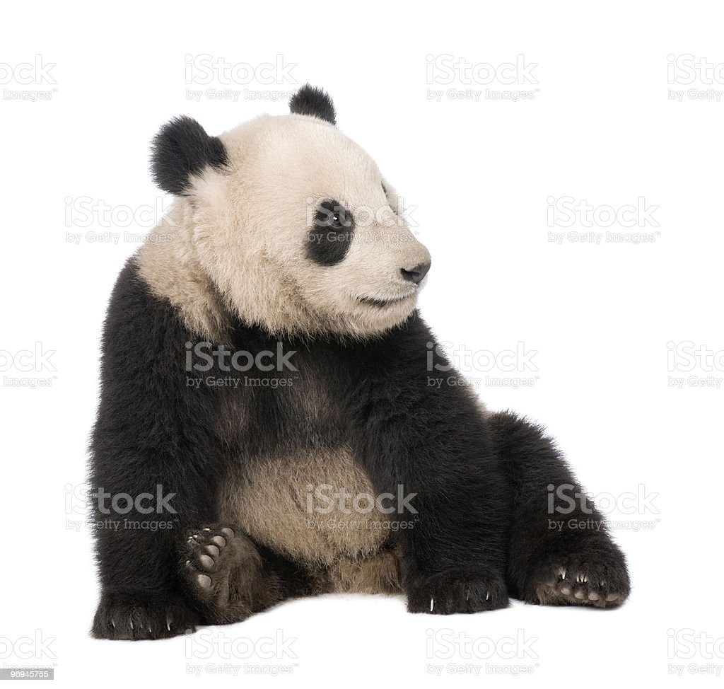 Front view of Giant Panda sitting and looking away stock photo