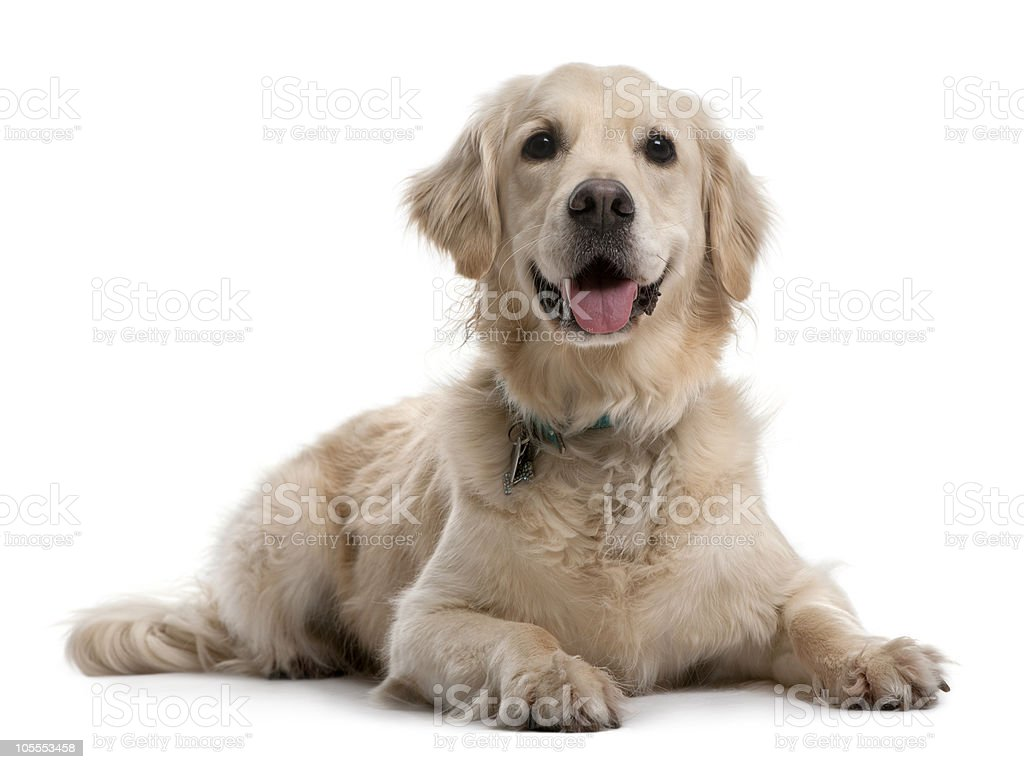 Front view of Golden Retriever, lying down and panting. stock photo
