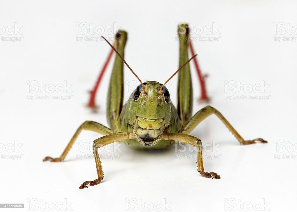 front view of grasshopper isolated on white background royalty-free stock photo