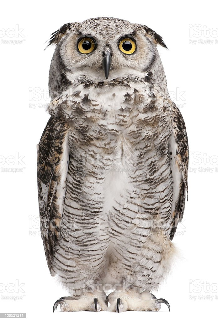 Front view of Great Horned Owl, standing and looking up. stock photo