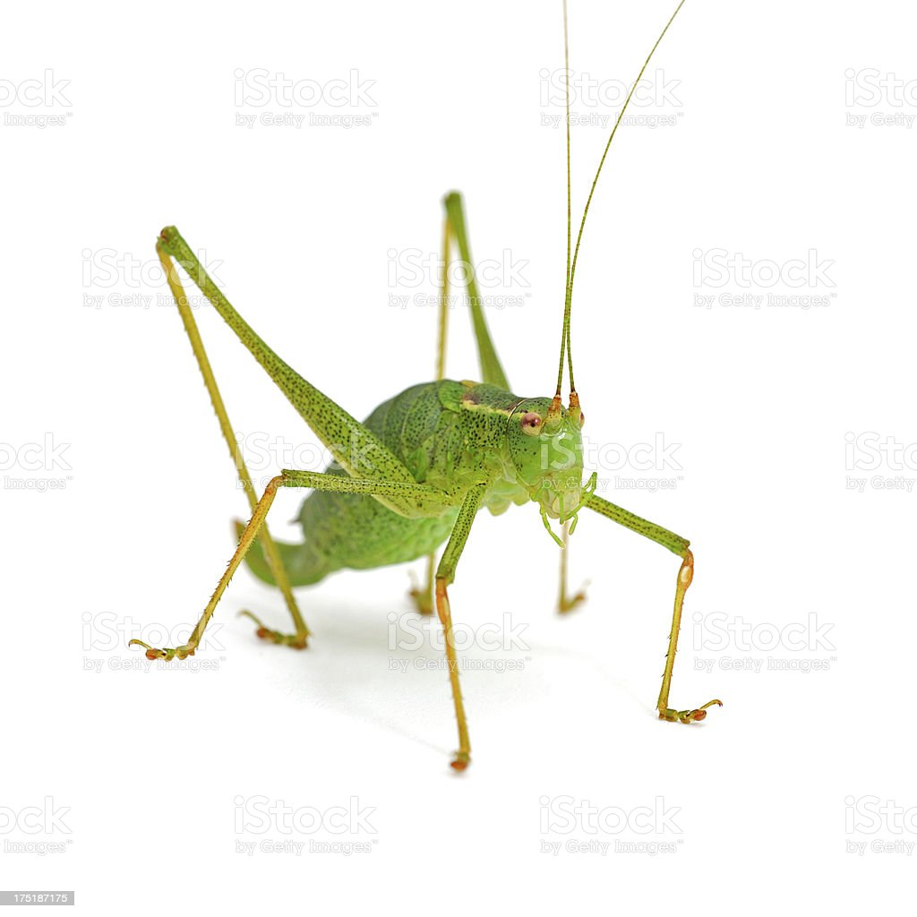 front view of green grasshopper on white background stock photo