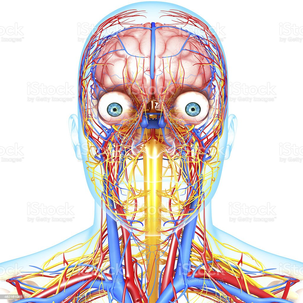 front view of head circulatory system and nervous royalty-free stock photo