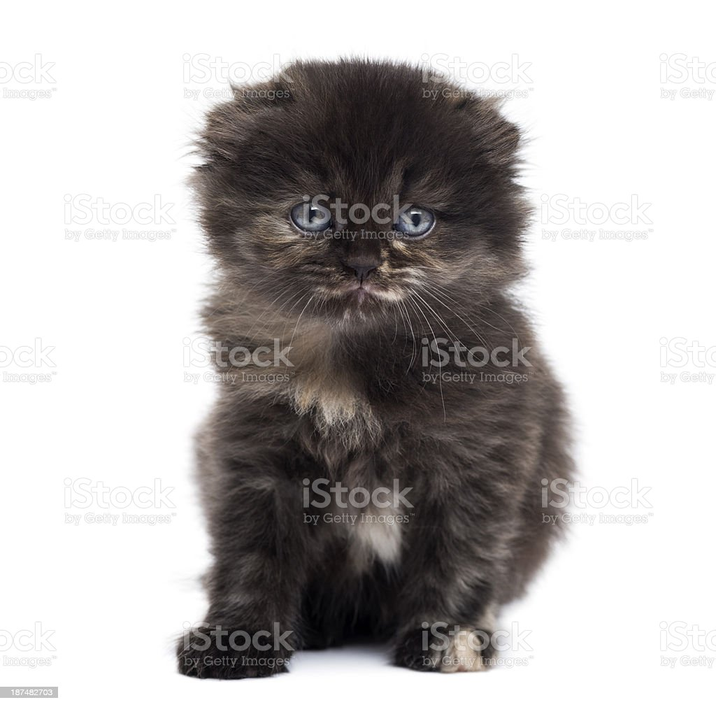 Front view of Highland fold kitten looking at the camera stock photo