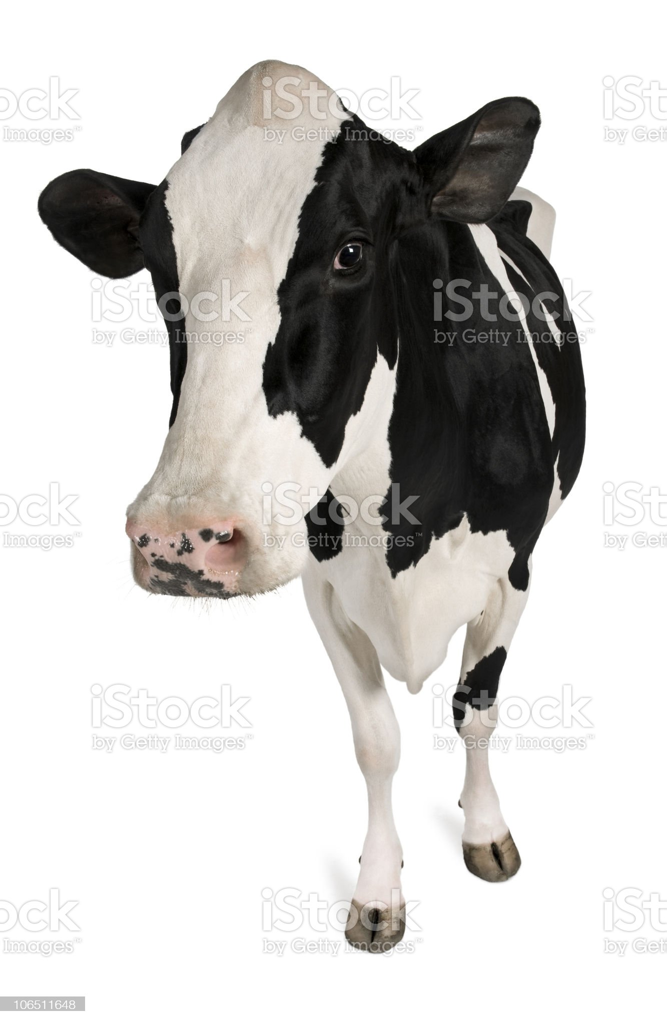 Front view of Holstein cow, 5 years old, standing. royalty-free stock photo