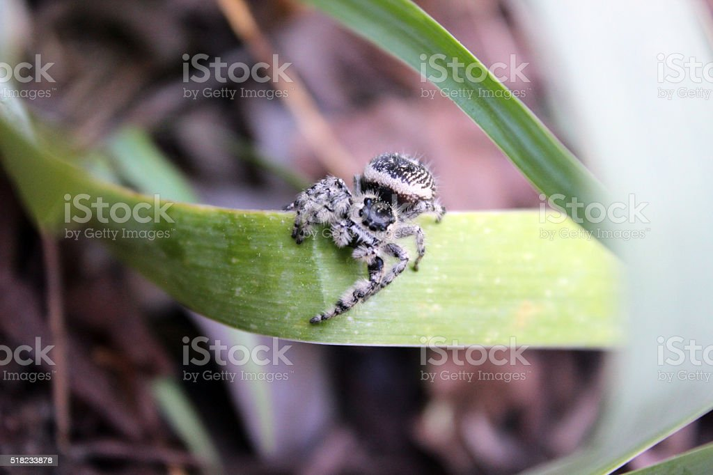 Front View of Jumping Spider Perched on Iris Leaf stock photo