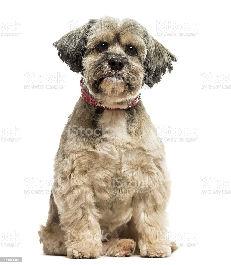 Front view of Lhasa apso sitting, looking at the camera stock photo