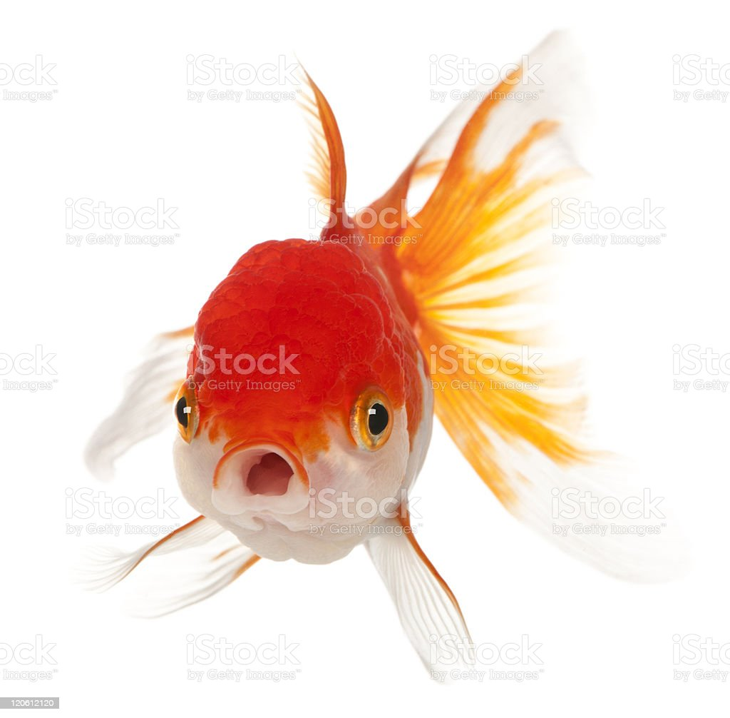 Front view of Lionhead goldfish, Carassius auratus, white background. stock photo