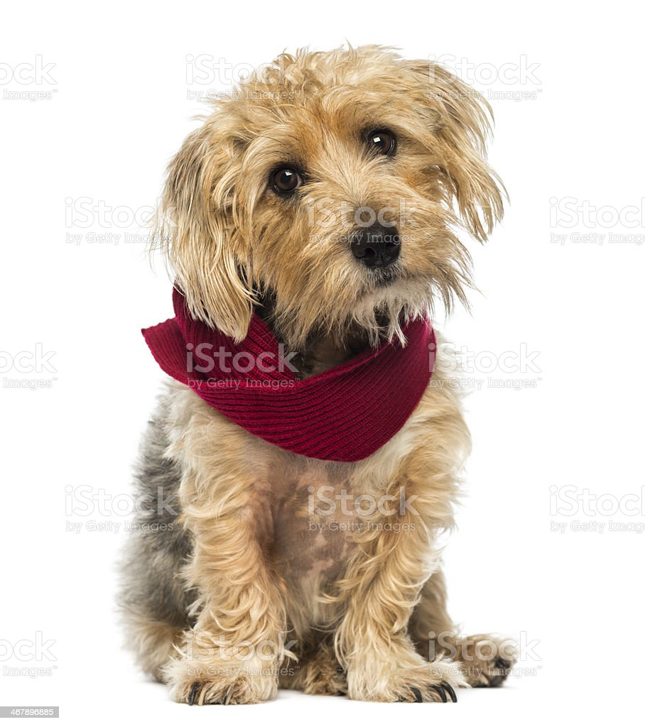 Front view of Lucas terrier sitting, wearing a scarf stock photo