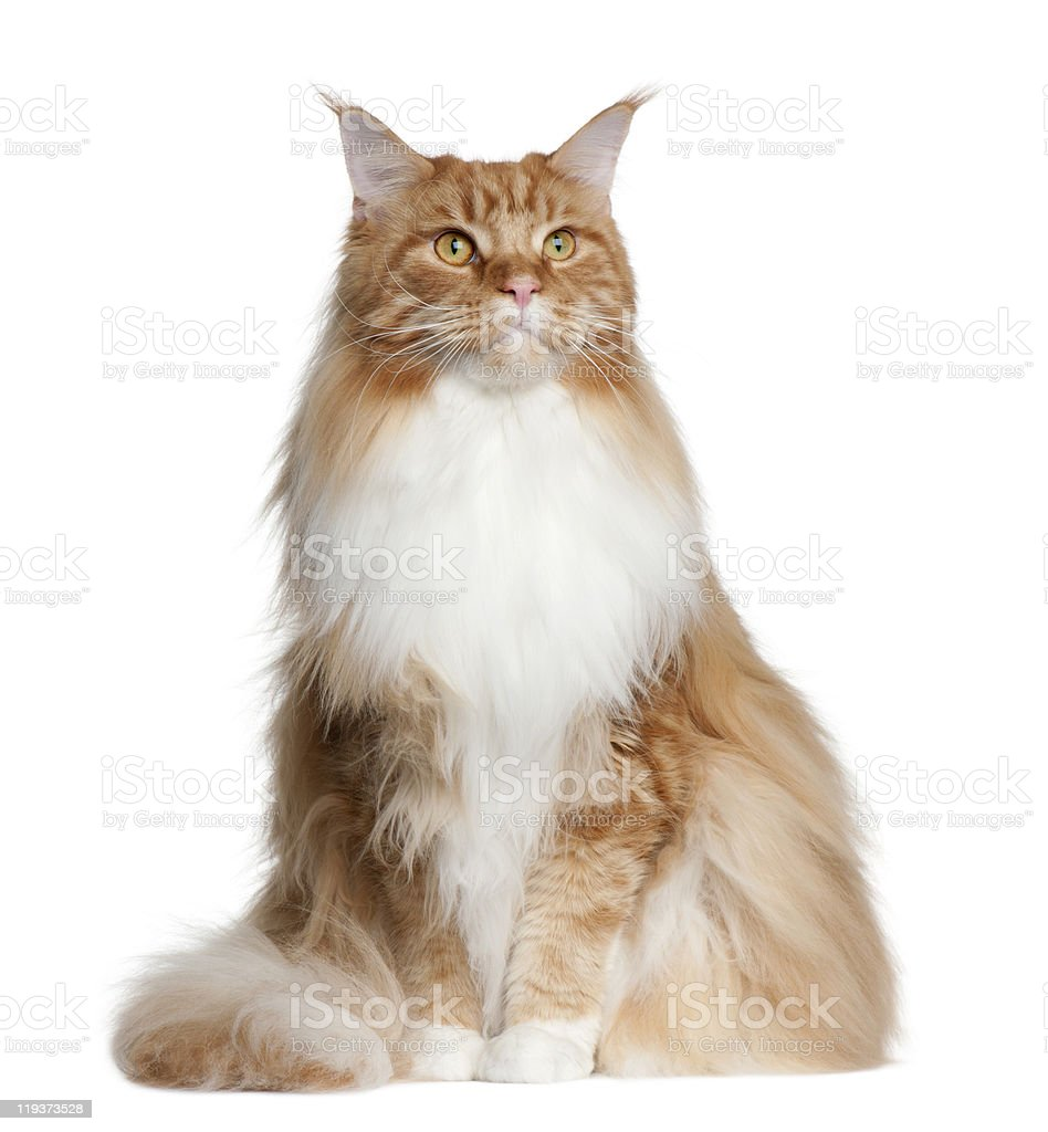 Front view of Maine Coon, 2 years old, sitting. stock photo