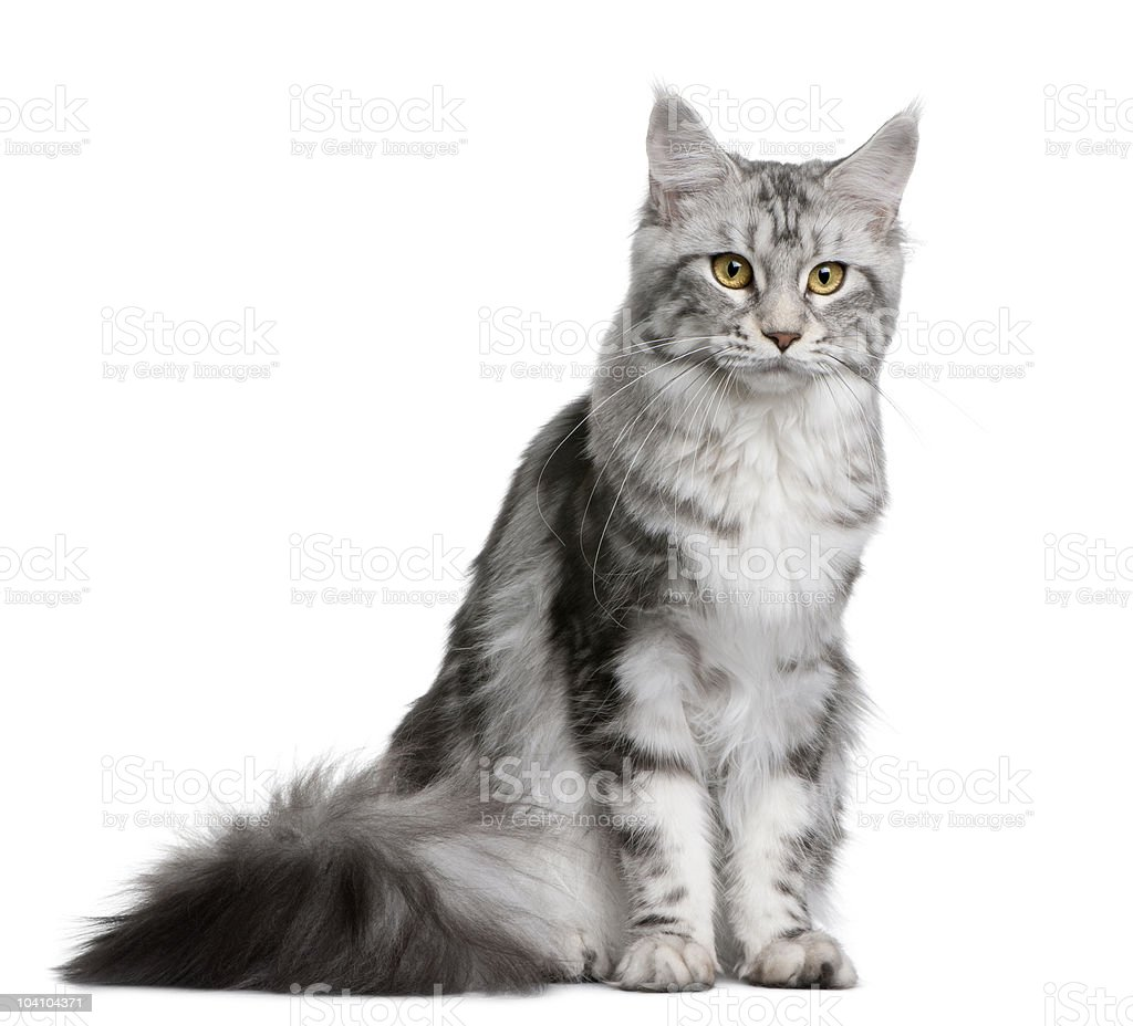 Front view of Maine coon, looking at the camera stock photo