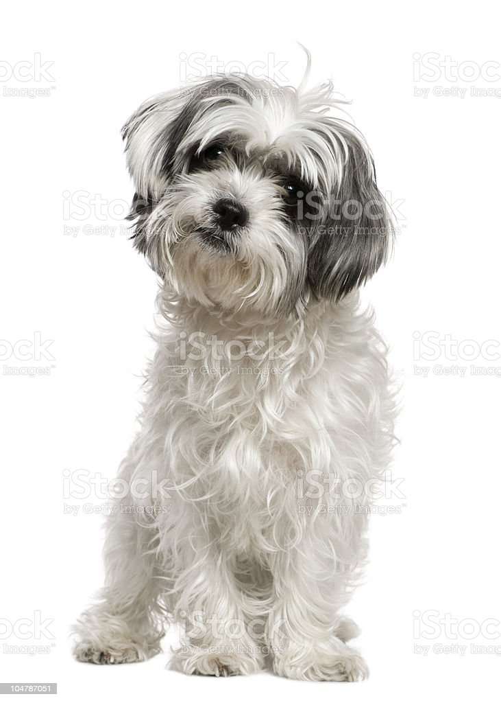 Front view of Maltese dog mixed with a Shih Tzu. stock photo