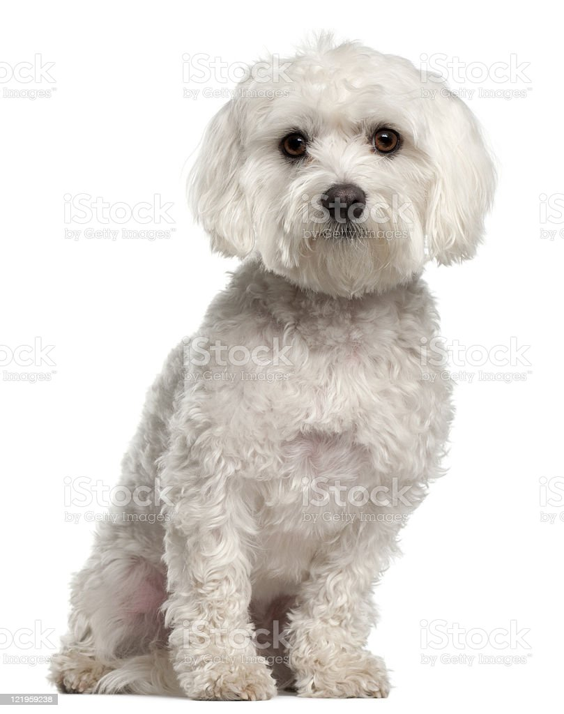 Front view of Maltese, two years old, sitting, white background. stock photo