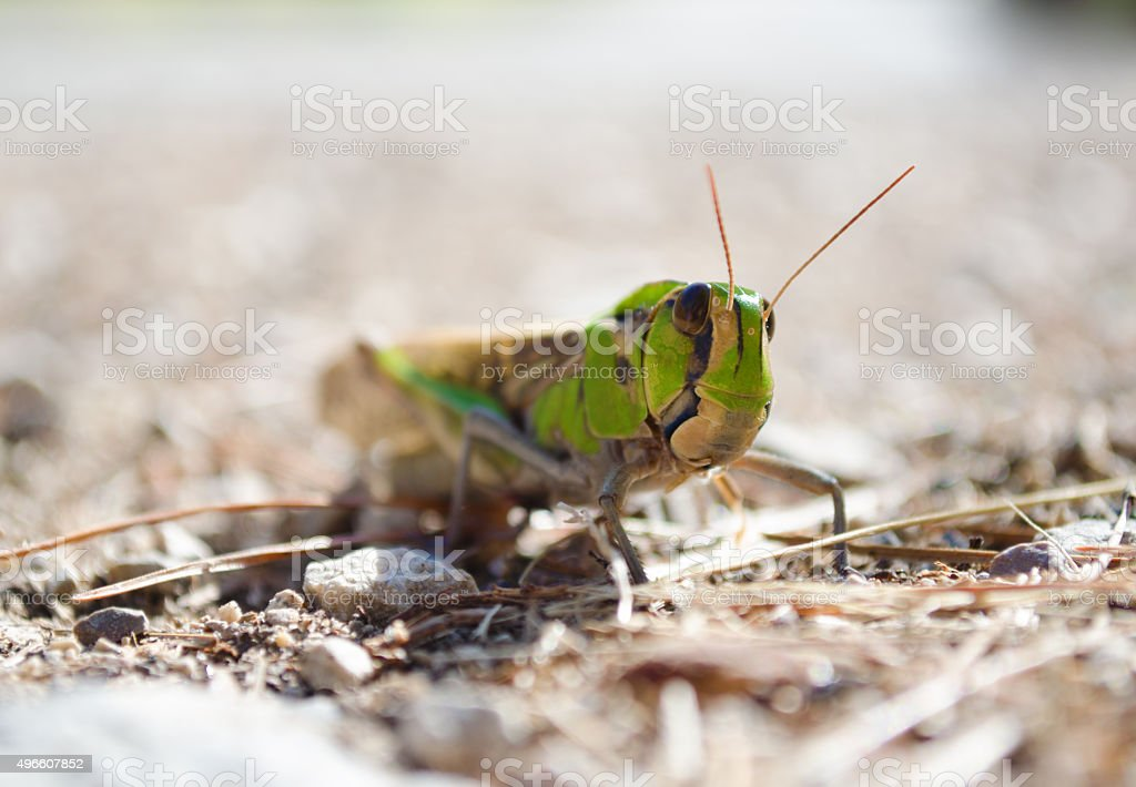 Front view of migratory locust in wilderness stock photo