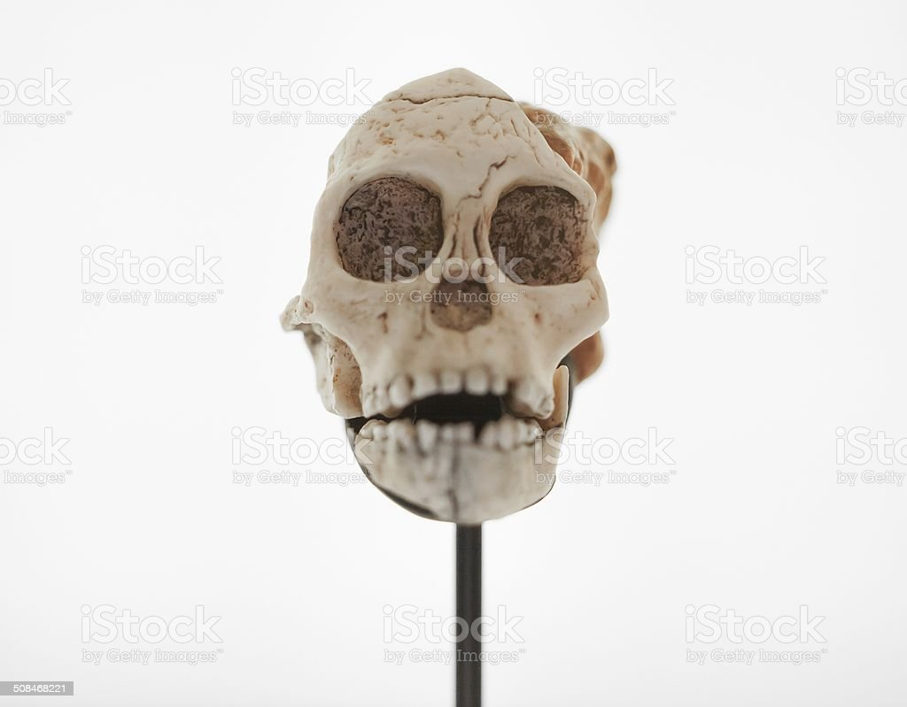 Front view of monkey skull in showcase stock photo