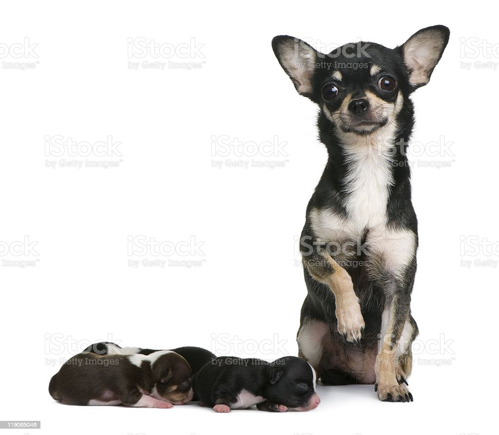 Front view of Mother Chihuahua and her puppies stock photo