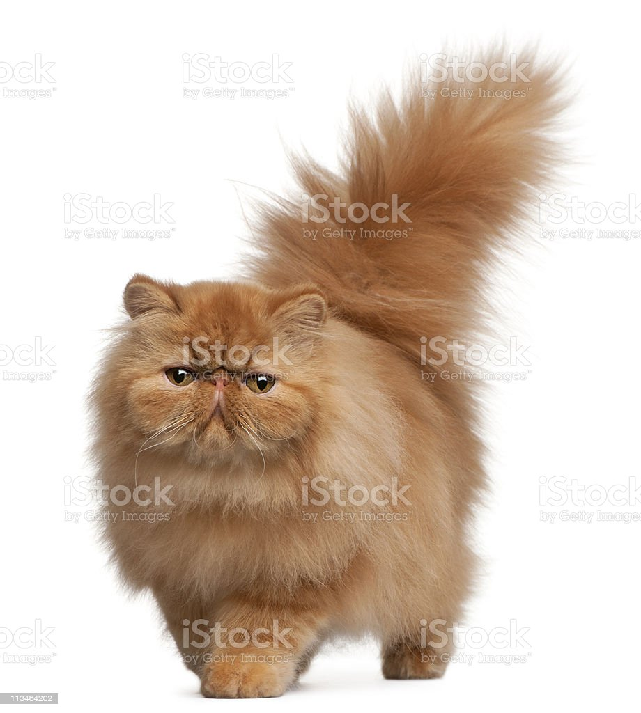 Front view of Persian kitten, 6 months old, white background. stock photo