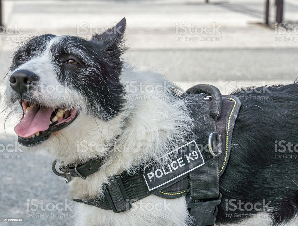Front View of Police Dog stock photo