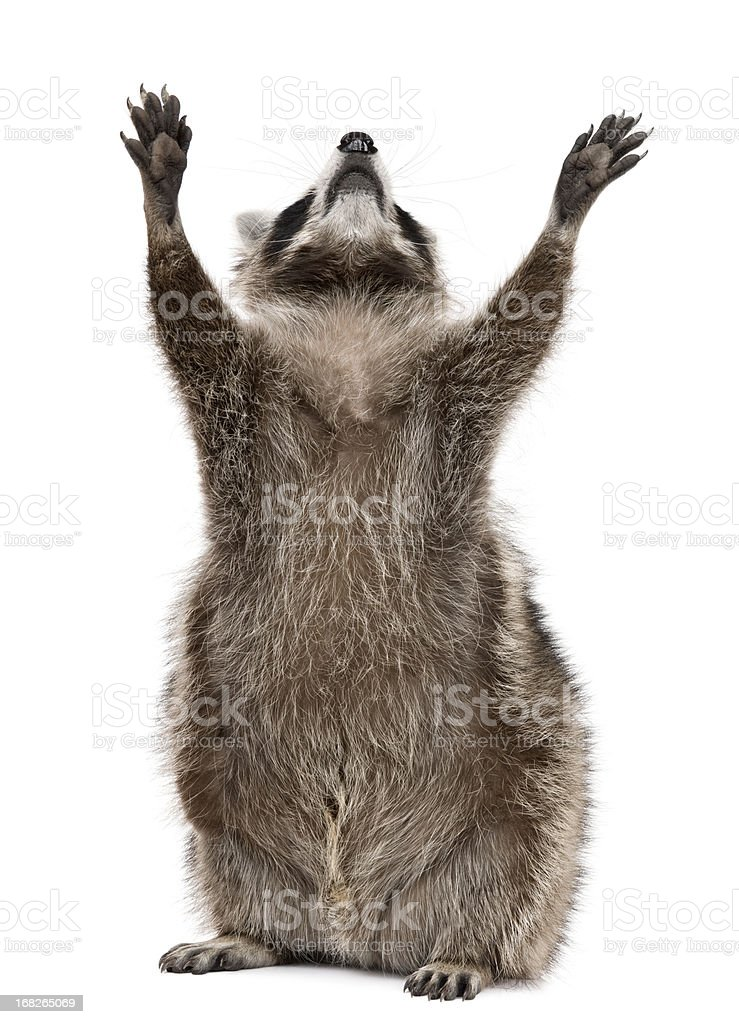 Front view of Raccoon, 2 years old, reaching up. stock photo