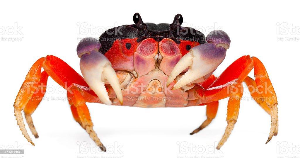 Front view of Red land crab, Gecarcinus quadratus, white background. stock photo