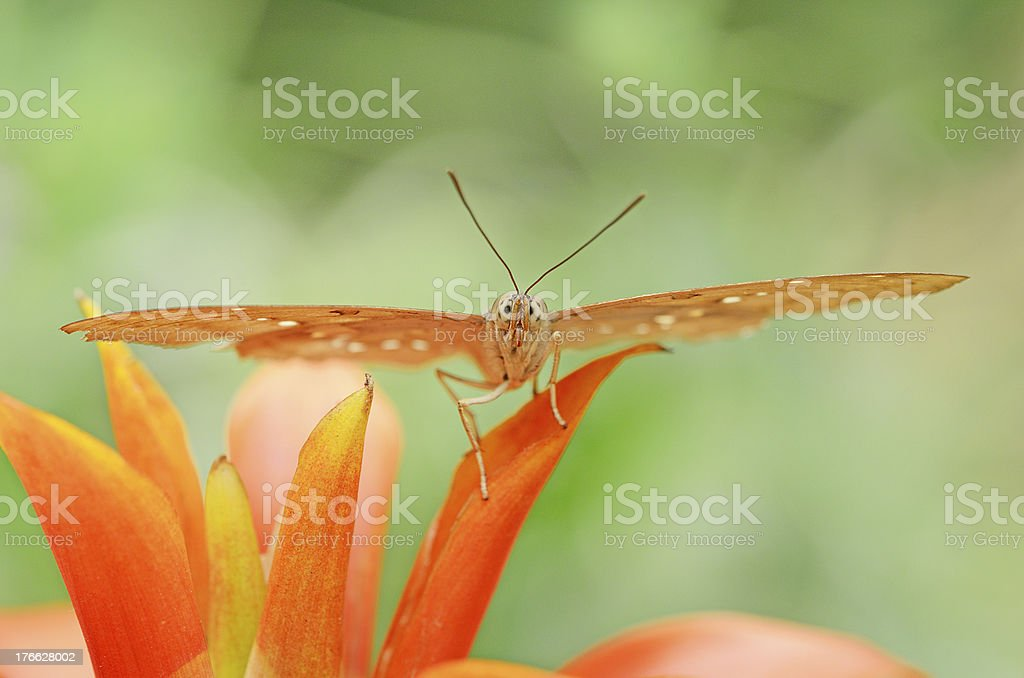 front view of Ringlet butterfly on orange flower royalty-free stock photo