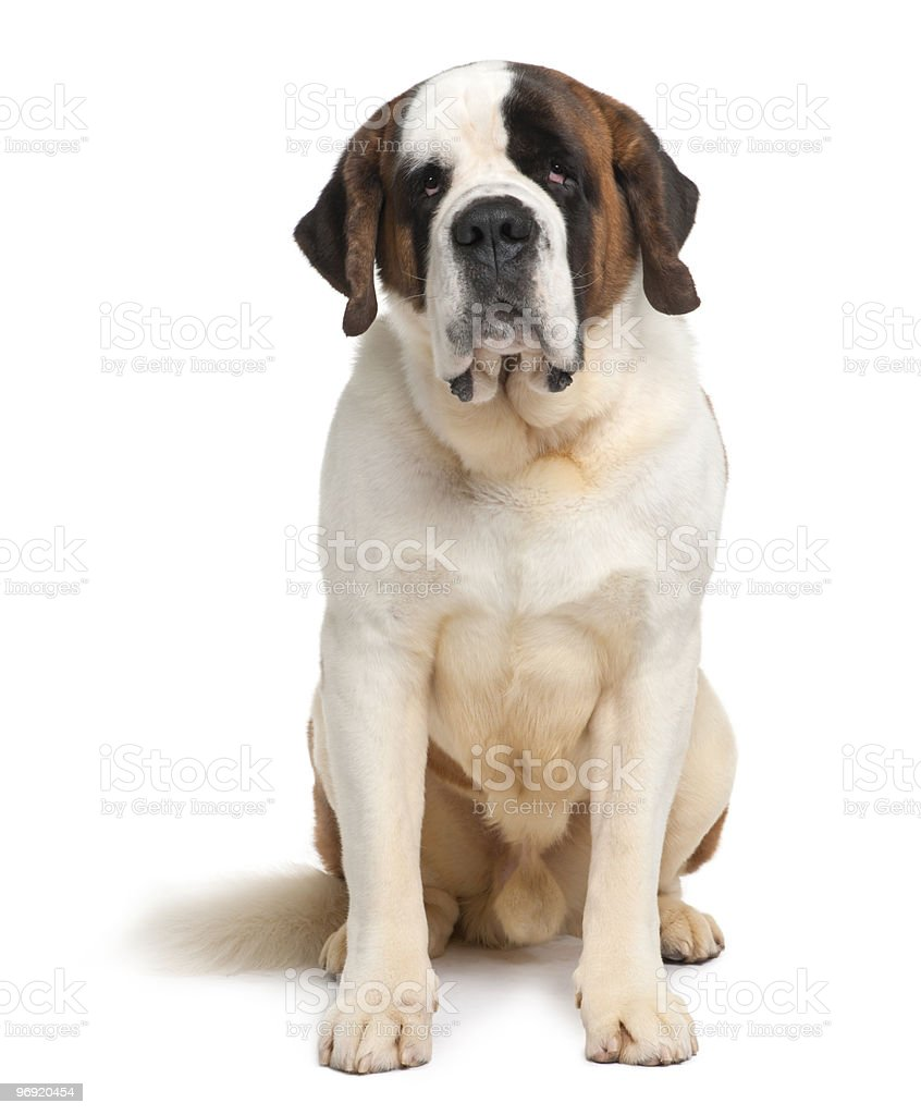 Front view of Saint Bernard sitting stock photo