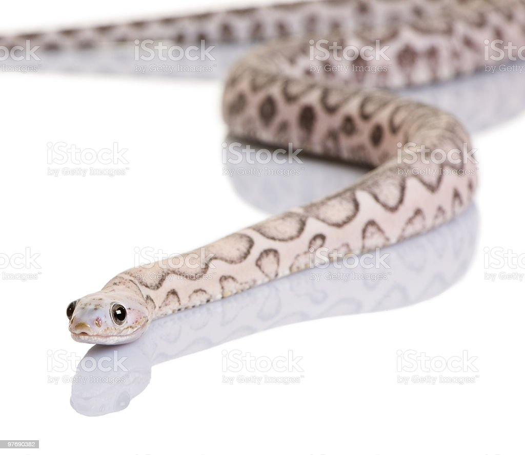 Front view of Scaleless corn snake, looking at the camera stock photo