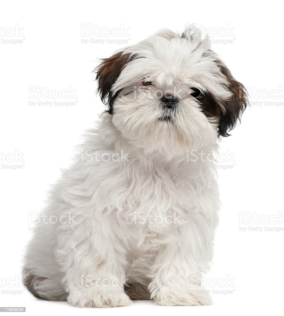 Front view of Shih Tzu puppy, 3 months old, sitting. stock photo