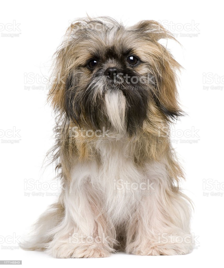 Front view of Shih Tzu, sitting and looking at camera. stock photo