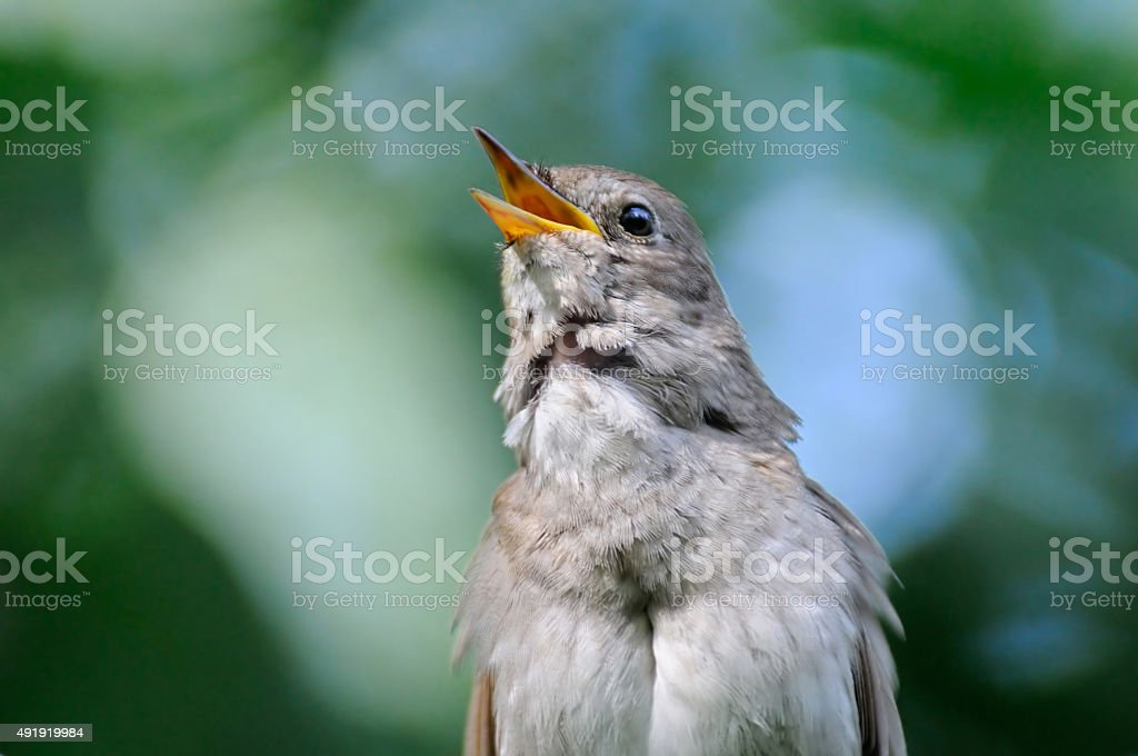 Front view of singing nightingale stock photo
