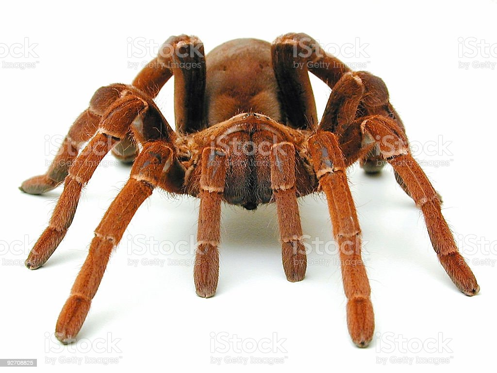 A front view of the King Babook Tarantula  stock photo