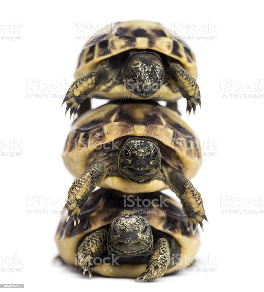 Front view of three baby Hermann's tortoise piled up stock photo
