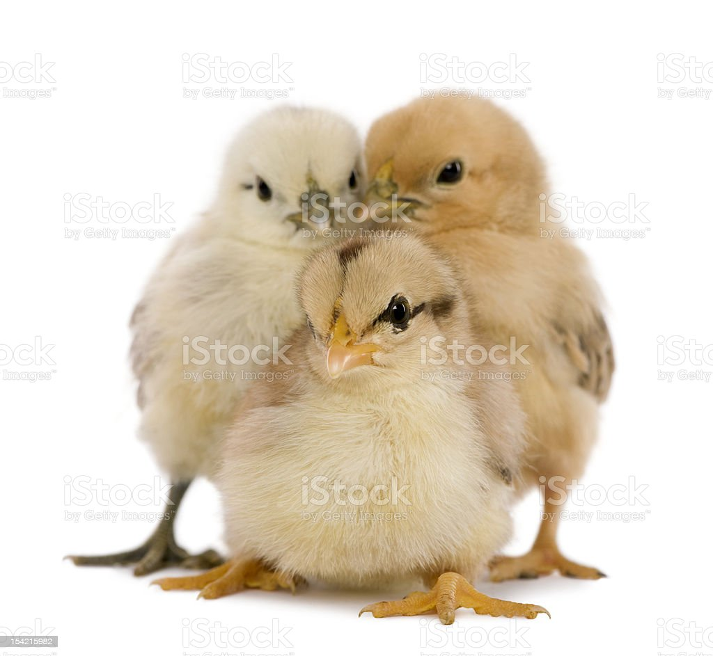 Front view of Three chicks, standing. royalty-free stock photo