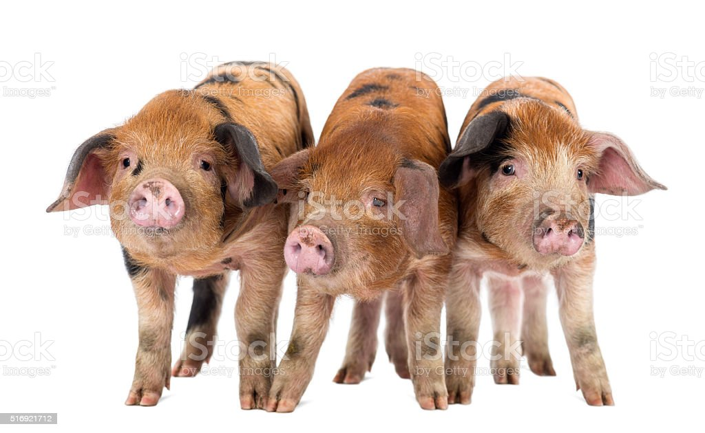 Front view of Three Oxford Sandy and Black piglets stock photo