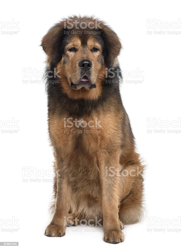 Front view of Tibetan mastiff, sitting and panting stock photo