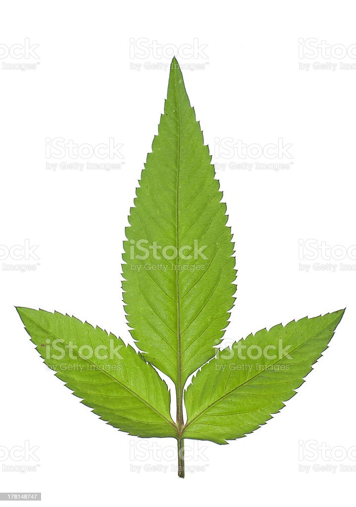 Front view of tripetal leaf stock photo