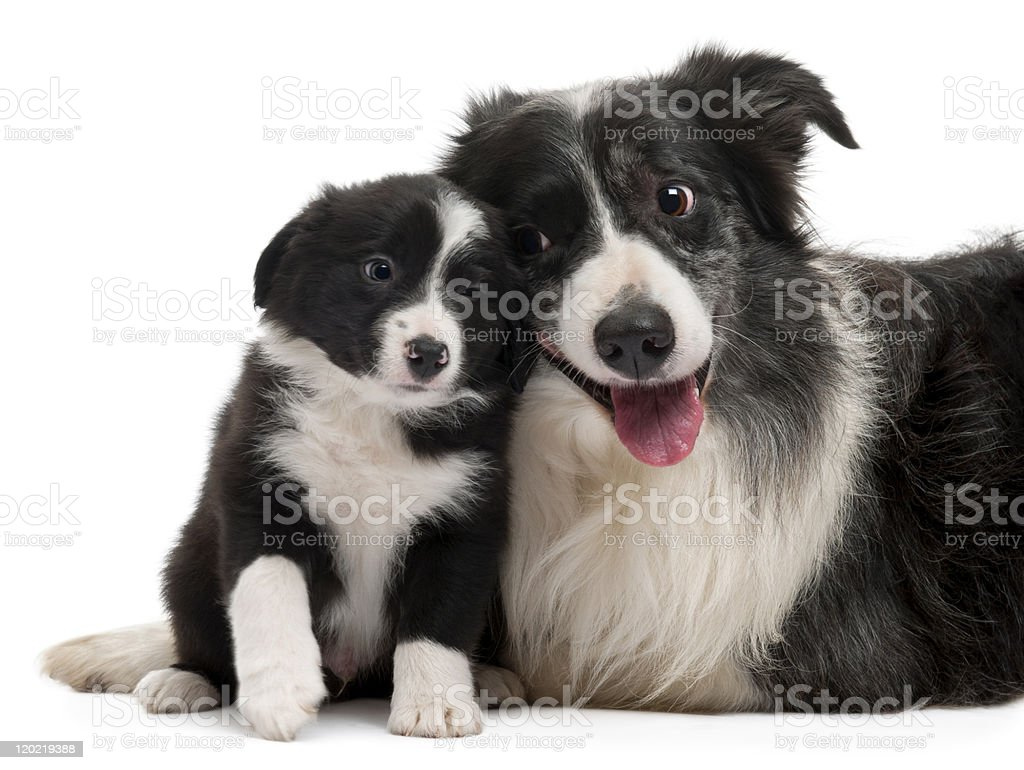 Front view of two Border Collies interacting, white background. royalty-free stock photo