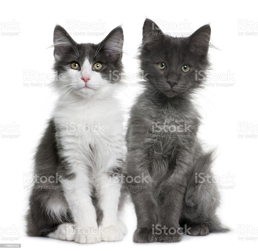 Front view of Two Norwegian Forest Cat kitten sitting royalty-free stock photo