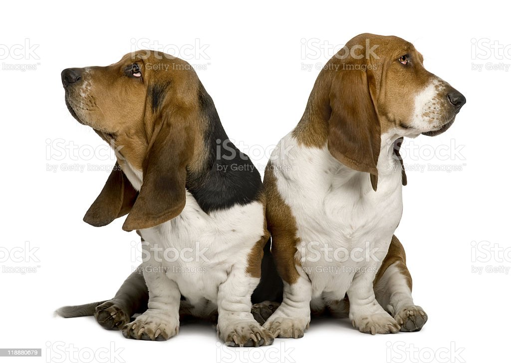 Front view of Two sulking Basset Hounds stock photo