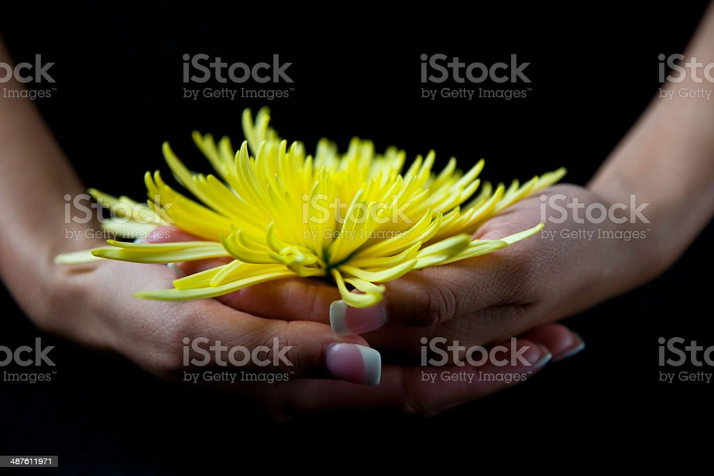 front view of woman holding  yellow chrysanthemum stock photo