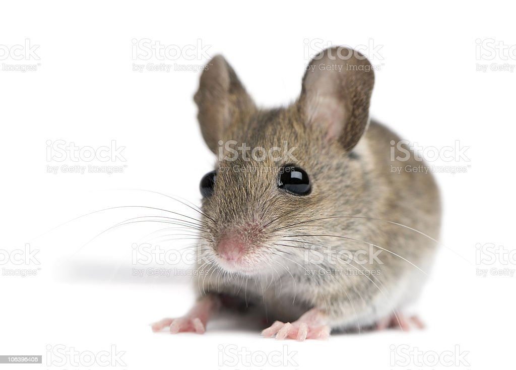 Front view of Wood mouse. stock photo