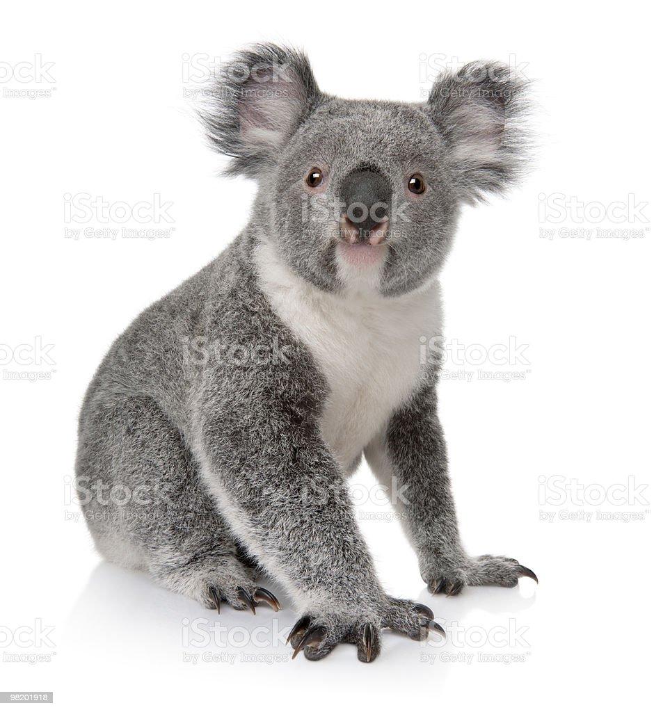 Front view of Young koala, Phascolarctos cinereus, sitting. stock photo