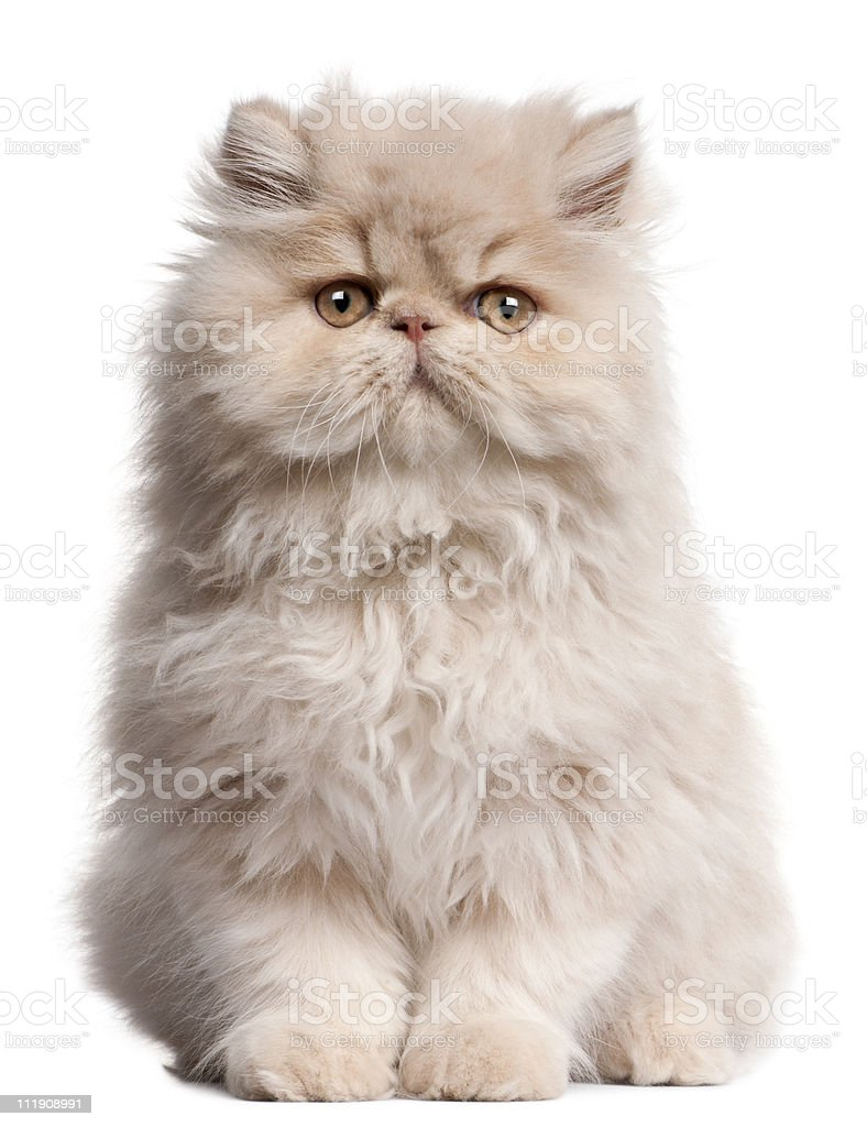 Front view of Young Persian cat sitting, white background. stock photo