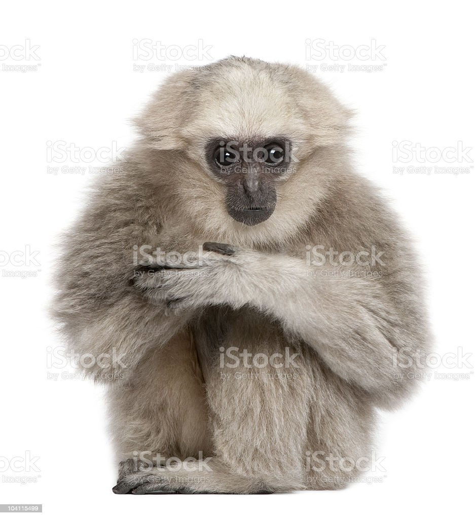 Front view of Young Pileated Gibbon, sitting stock photo