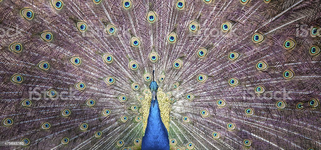 Front view Peacock stock photo