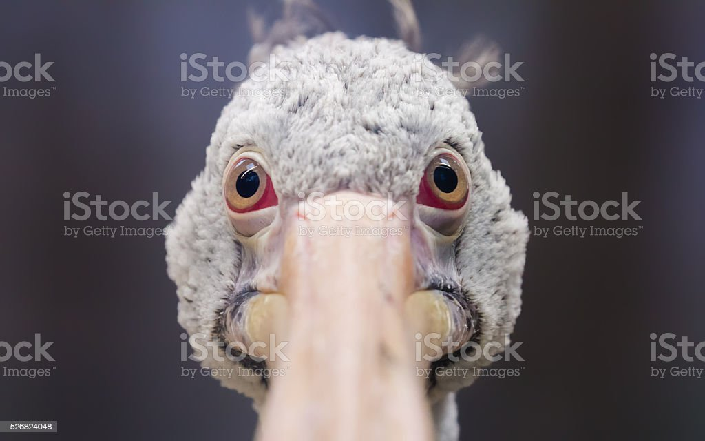 Frontal Close-up view of a pelican stock photo