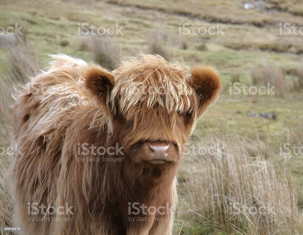 frontal Highland cattle portrait royalty-free stock photo