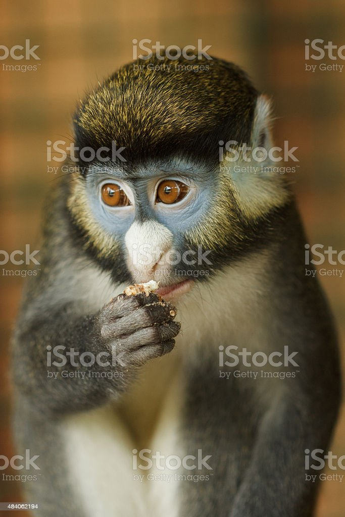 Frontal Portrait of Lesser Spot-Nosed Monkey stock photo