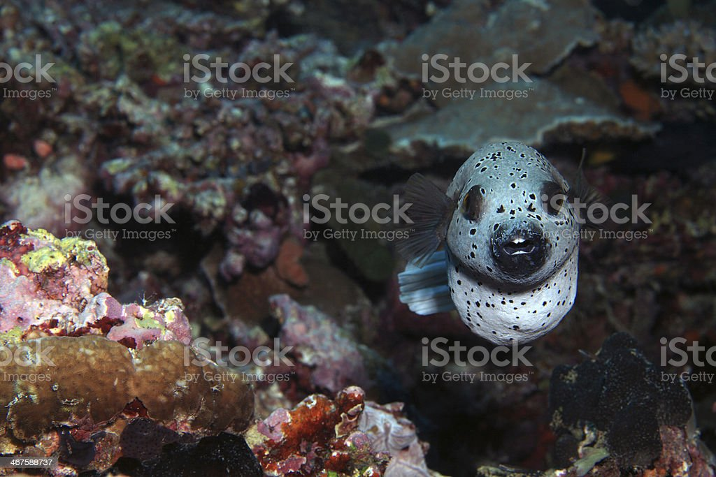 Frontal puffer fish in coral reef stock photo