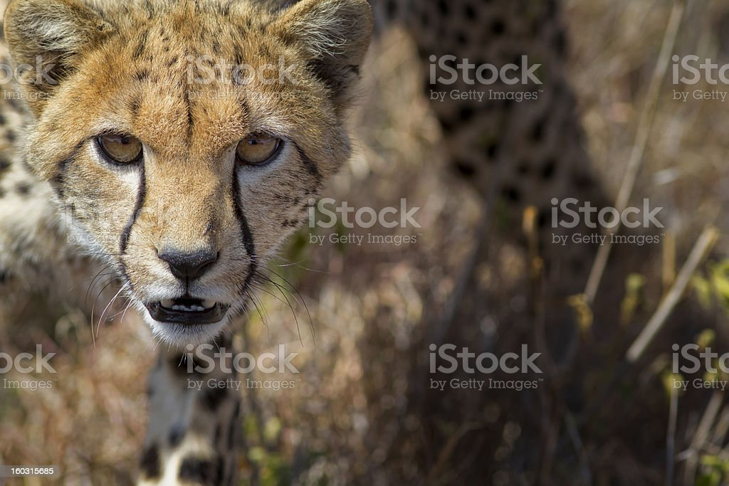 Frontal view of young cheetah, Kenya, East Africa stock photo